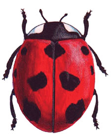 A Beautiful Live Ladybug - Live Ladybug Photo Not Actual Size and Ladybugs Color Will Vary